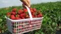 Zbiory truskawek ogórków borówek od zaraz